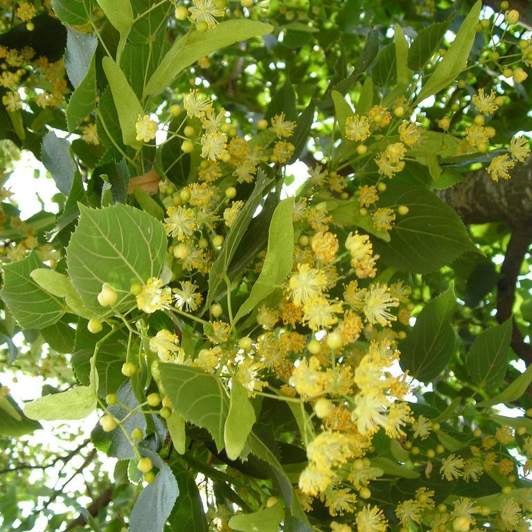 Variétés à feuilles non argentées de grande taille Tilleuls de Hollande (Tilia platyphyllos)