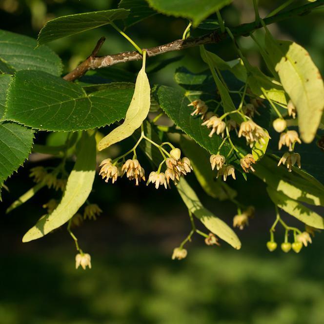 Variétés à feuilles non argentées de grande taille Tilleul d'Amérique (Tilia américana)