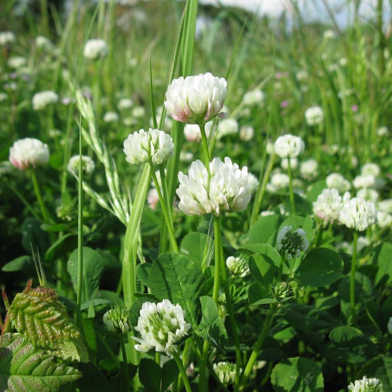 Trèfle blanc (Trifolium repens) Espèce type