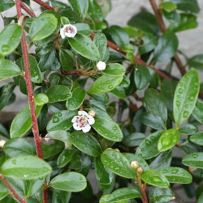 Arctostaphylos uva-ursi 'Vancouver Jade'