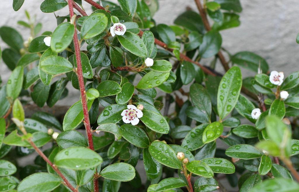 Busserole planter et cultiver ooreka for Entretien rosier nain interieur