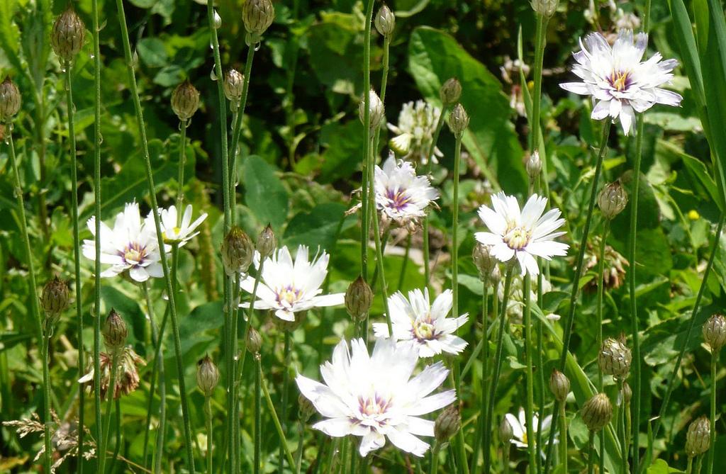 Catananche planter et cultiver ooreka for Plante 60 80