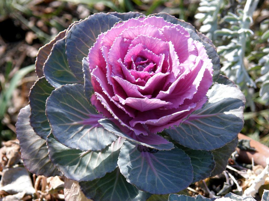 Choux d 39 ornement planter et entretenir ooreka for Plantes d ornement exterieur