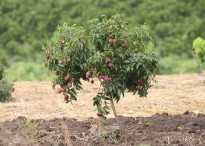 Plantation du litchi