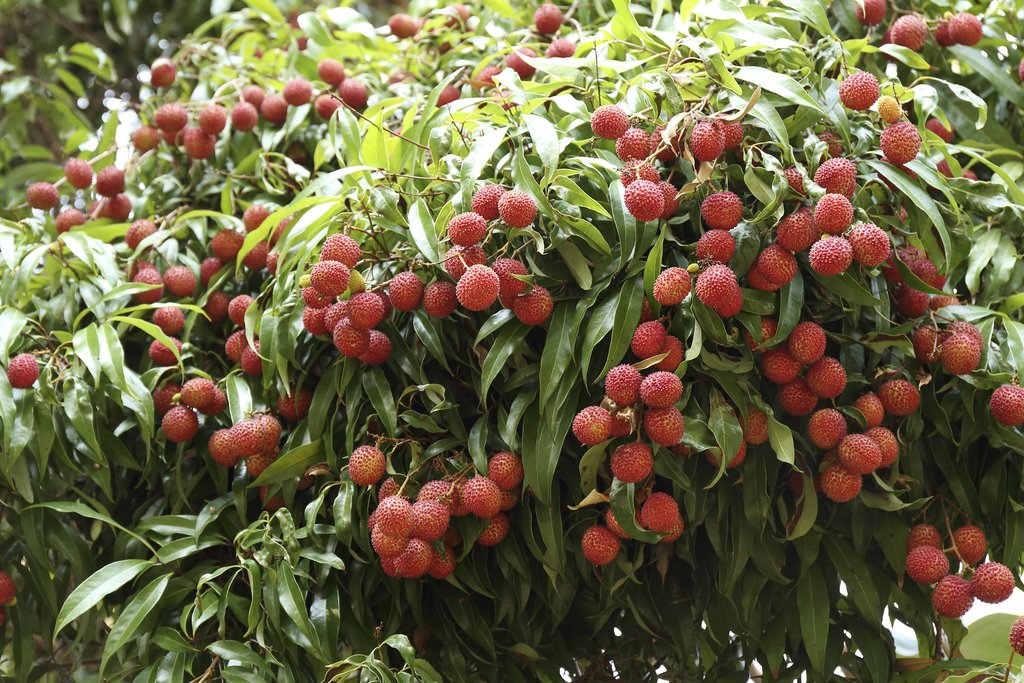 Litchi planter et cultiver ooreka - Planter un noyau de litchi ...