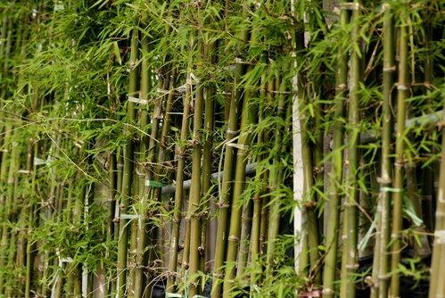 Bambou planter et tailler comprendrechoisir - Planter bambou ...