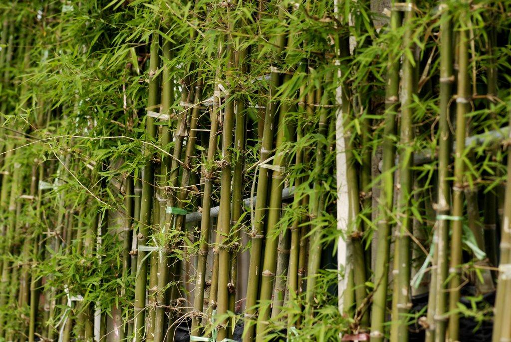 Bambou cultiver et tailler ooreka - Planter du bambou dans son jardin ...
