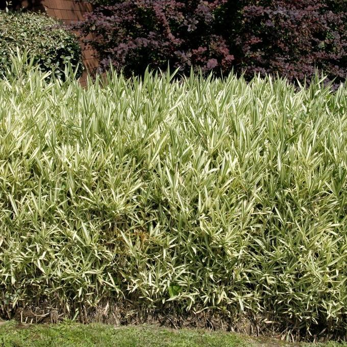 Bambous nains (jusqu'à 1,50m) Pleioblastus pumilus