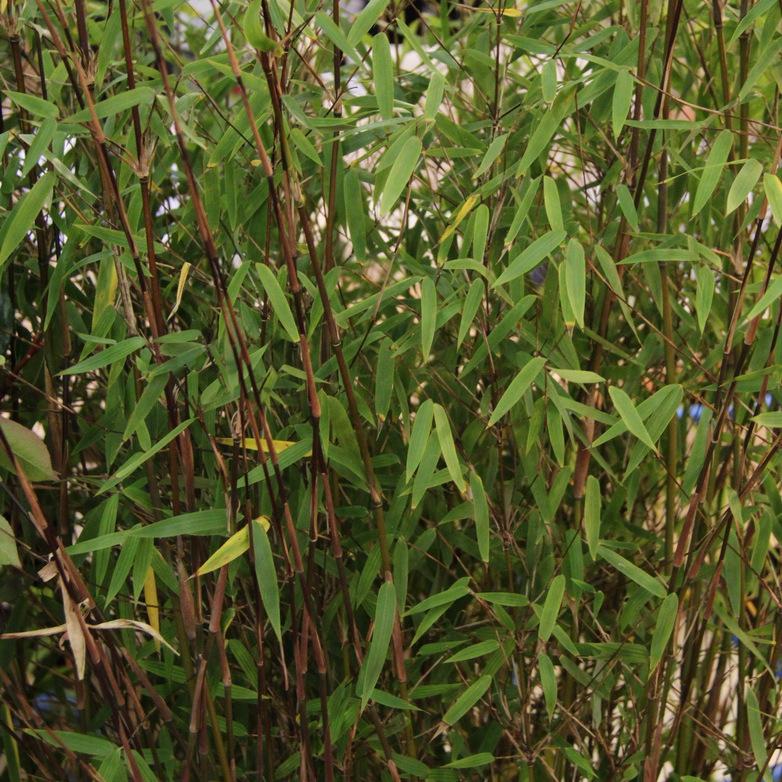 Bambous non traçants Fargesia jiuzhaigou