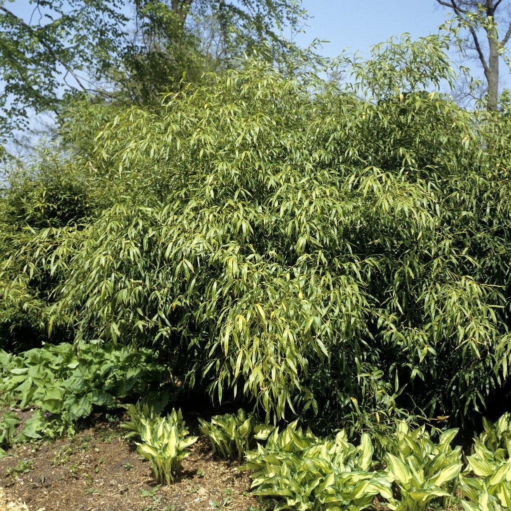 Bambous non traçants Fargesia rufa