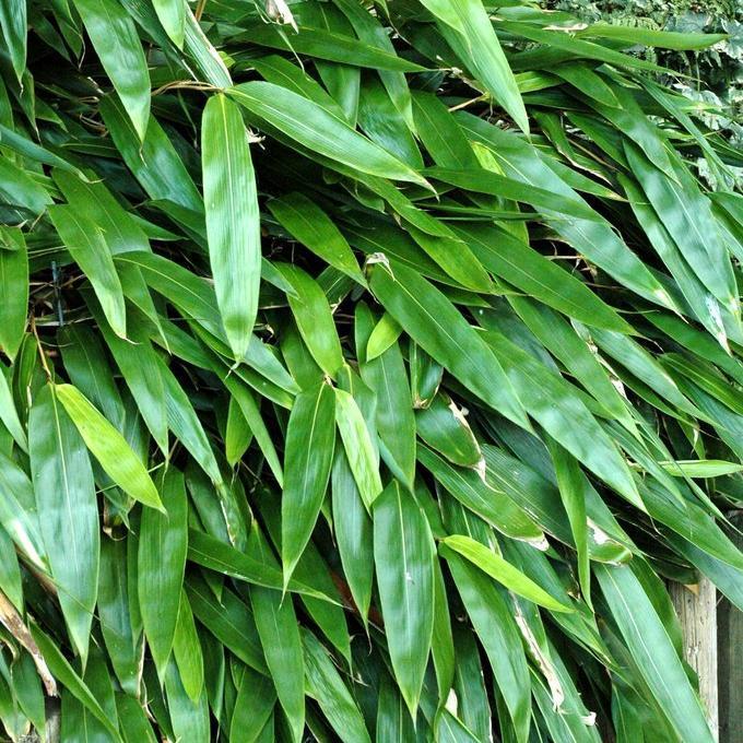 Petits bambous (jusqu'à 3m) Sasa tessellata