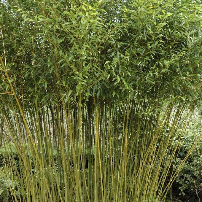 Bambous moyens (de 3à 10m) Phyllostachys bissetii