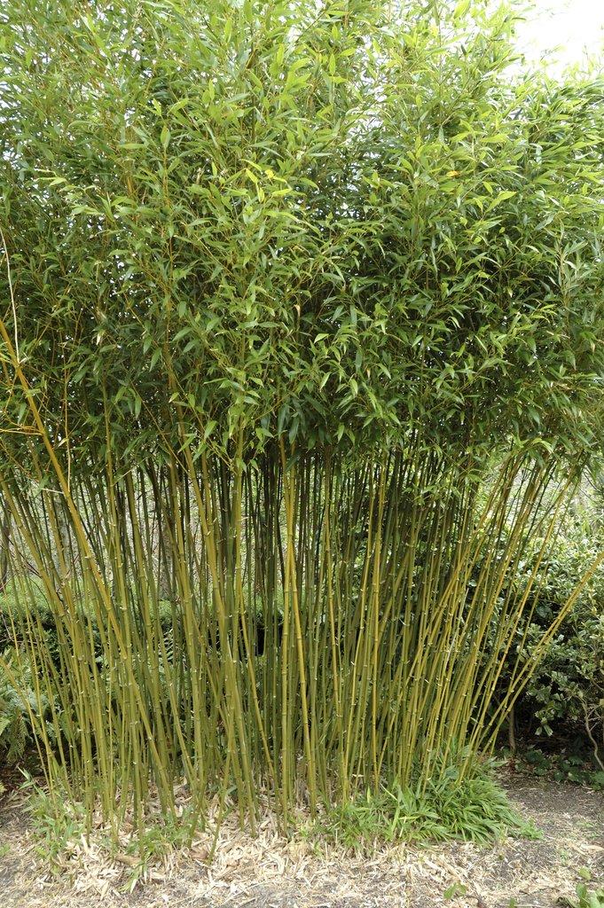 bambou cultiver et tailler ooreka. Black Bedroom Furniture Sets. Home Design Ideas
