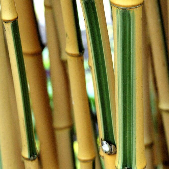 Bambous géants (10m et plus) Phyllostachys vivax f. aureocaulis