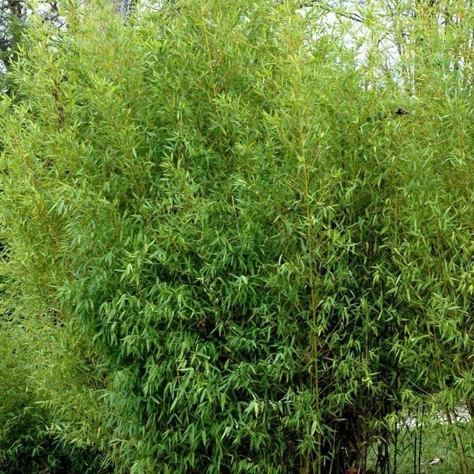 Bambous moyens (de 3à 10m) Bambou doré Phyllostachys aurea