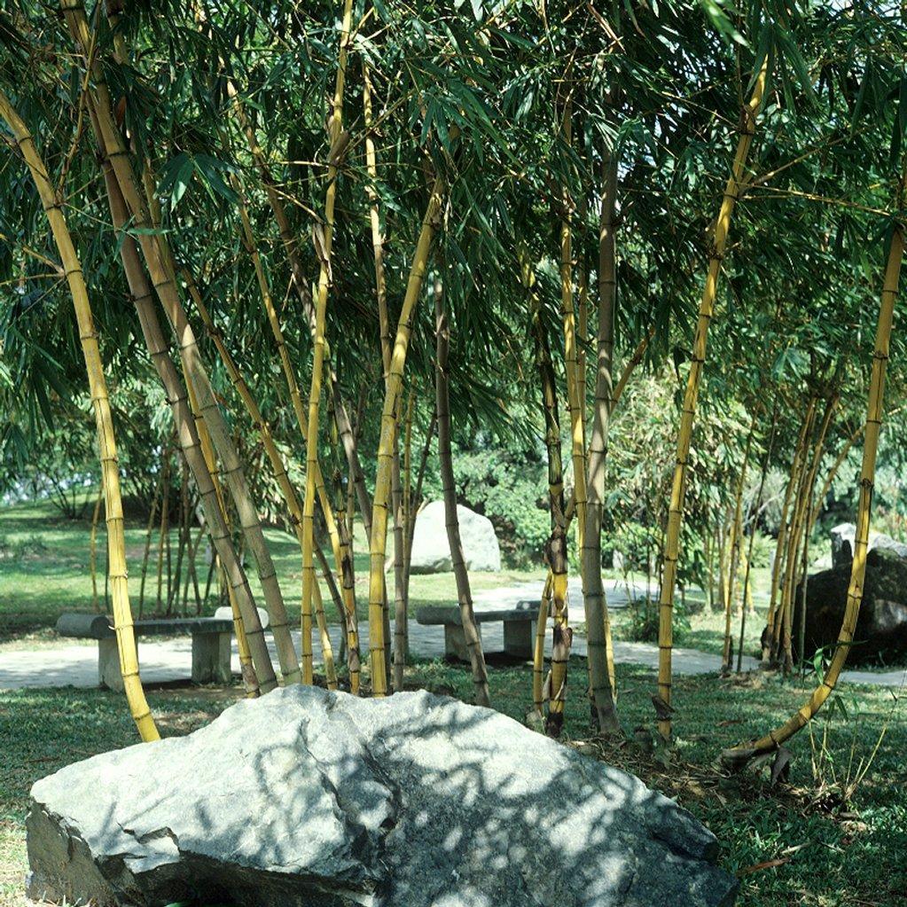 Bambous moyens (de 3à 10m) Semiarundinaria fastuosa