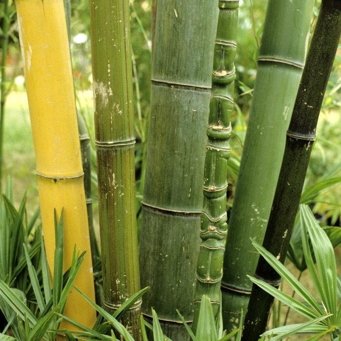 Bambous géants (10m et plus) Phyllostachys sulfurea f. viridis