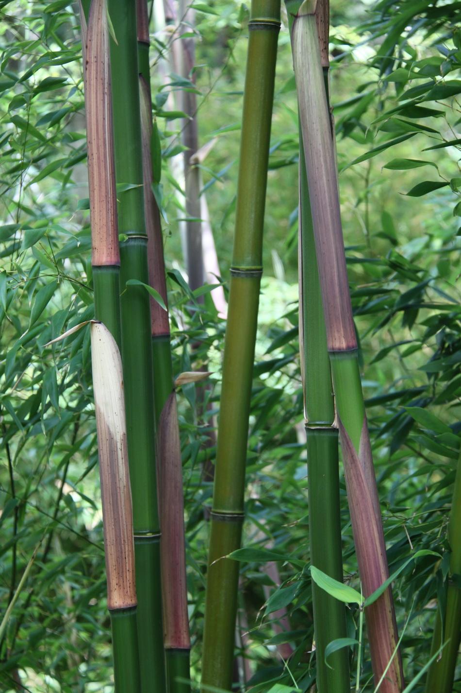 Comment Faire Pousser Bambou bambou : cultiver et tailler – ooreka