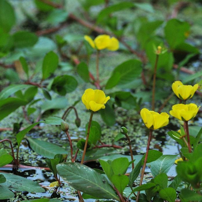 Espèce voisine et parfois concomitante Jussie à petites fleurs (Ludwigia peploïdes)