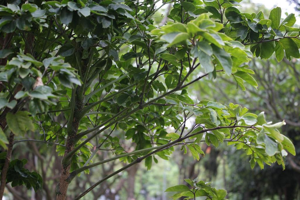 caféier feuilles vertes légèress