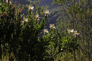 Plantation des <em>Protea</em>