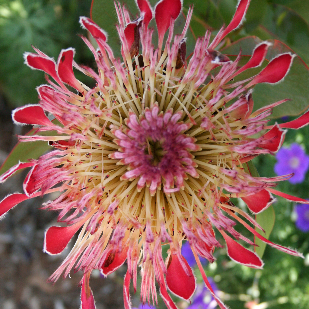 Protea eximia (syn. P. latifolia) Espèce type