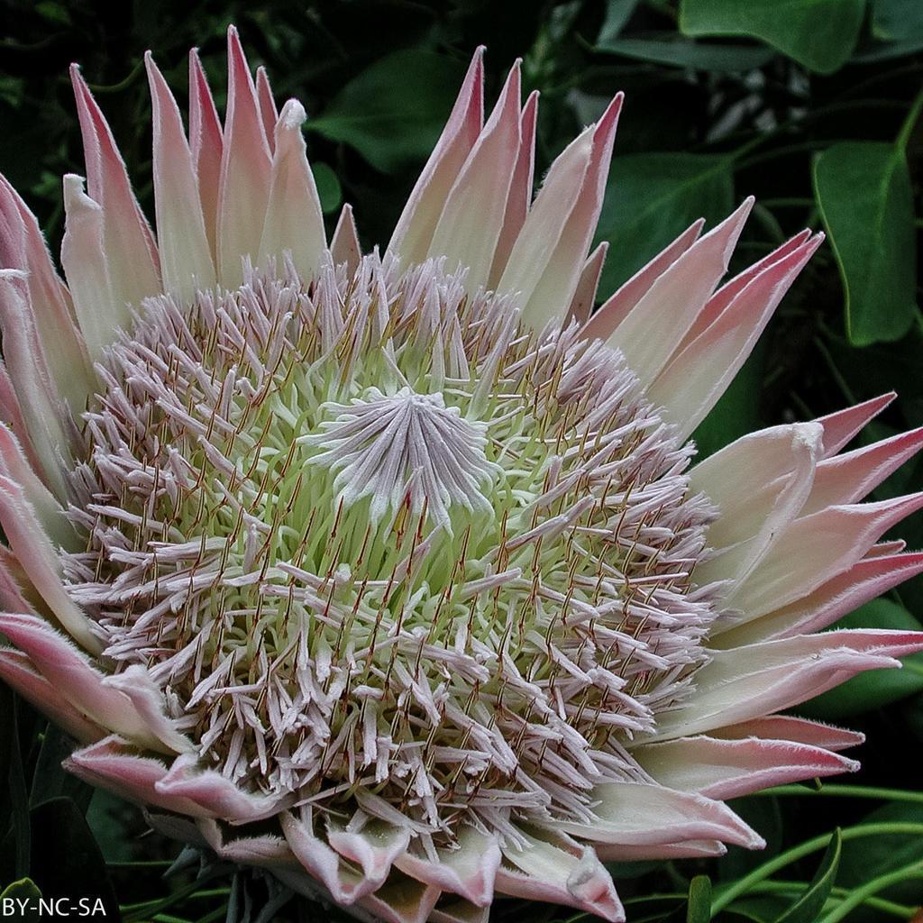 Protée royale (Protea cynaroides, syn. Leucadendron cynaroides) Espèce type