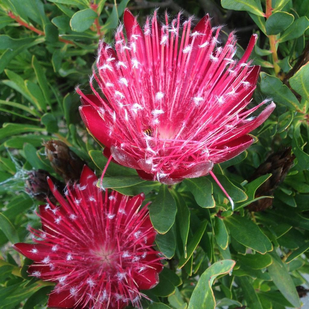 Protea hybrides 'Clark's Red'