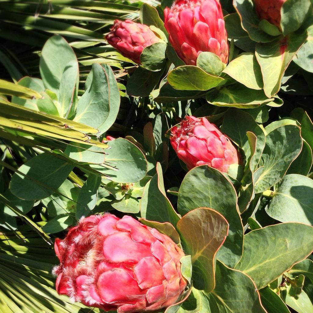 Protea grandiceps Espèce type