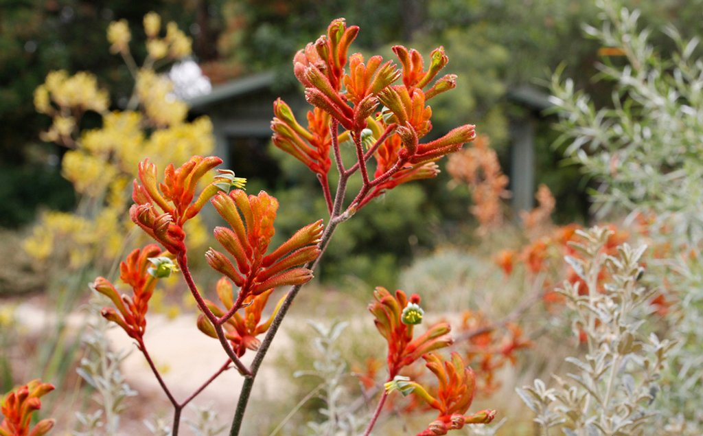 Red Kangaroo Paw 30 graines-couleurs vives
