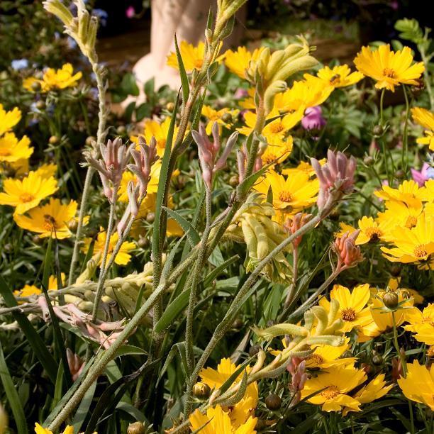 Hybrides et cultivars 'Yellow Gem'