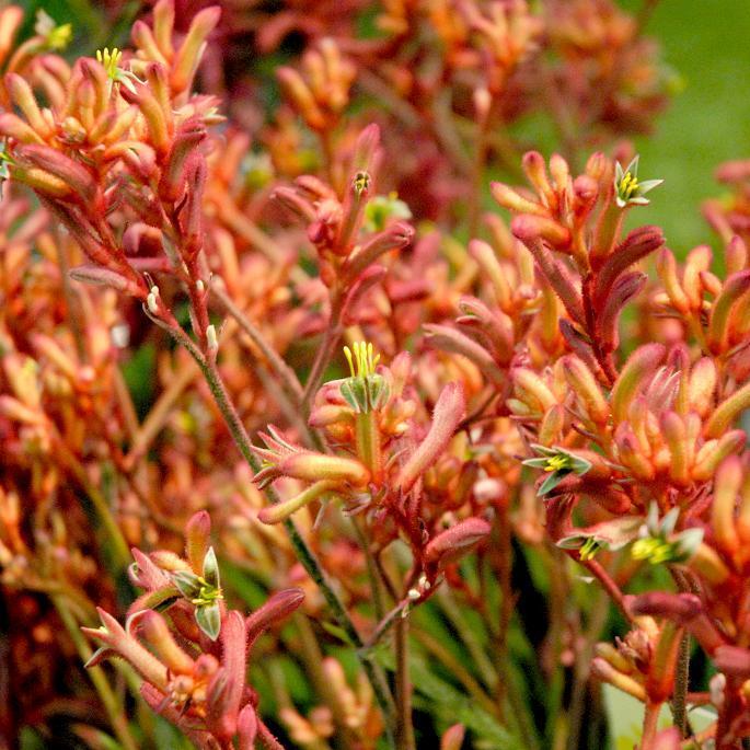 Hybrides et cultivars 'Regal Claw'