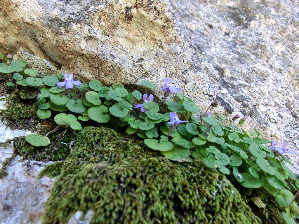 Cymbalaire planter et cultiver ooreka for Plante vivace rampante