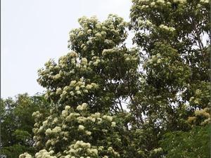 Plantation de <em>Backhousia citriodora</em>