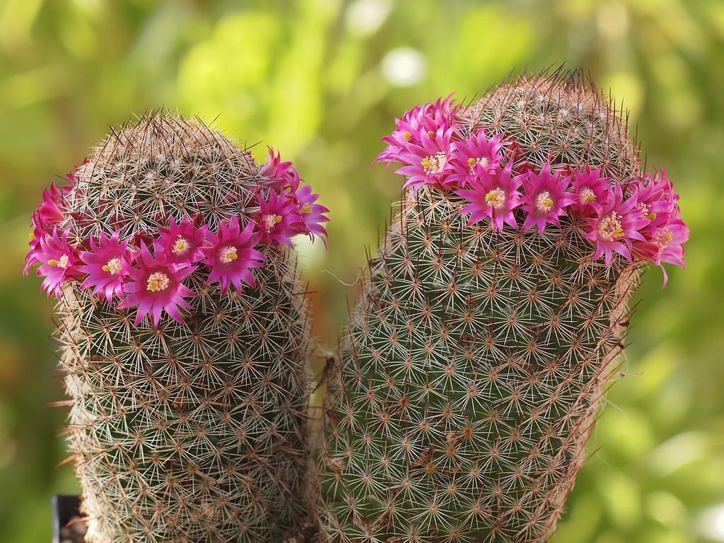 Mammillaria planter et cultiver ooreka - Voir tous les cactus ...