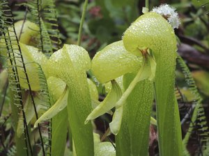 Multiplication de <em>Darlingtonia californica</em>