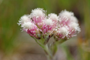 Multiplication d'<em>Antennaria dioica</em>
