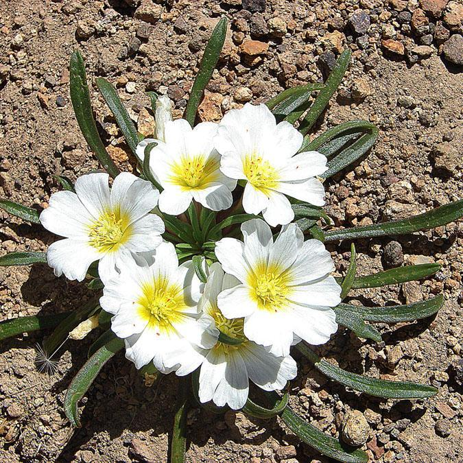 Calandrinia affinis Espèce type