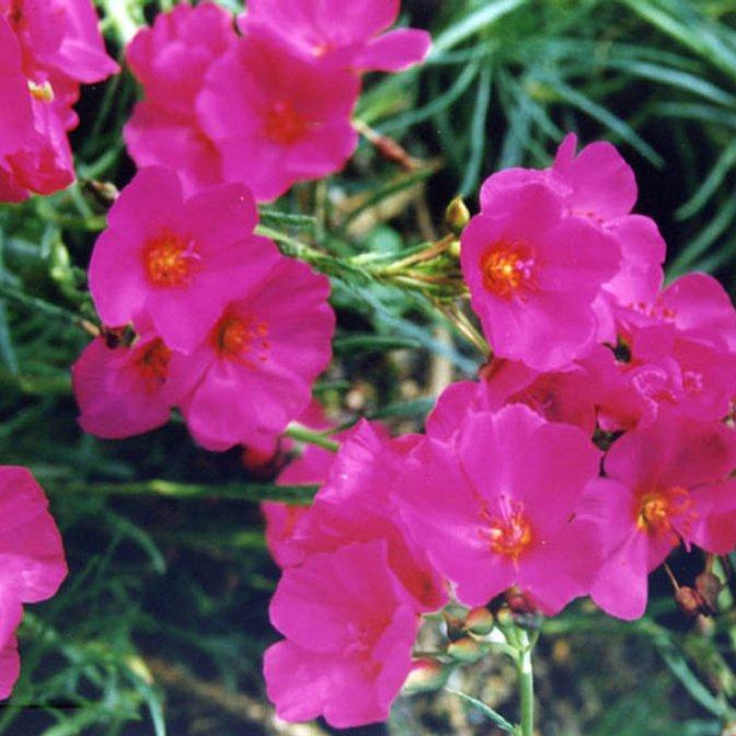 Calandrinia umbellata Espèce type