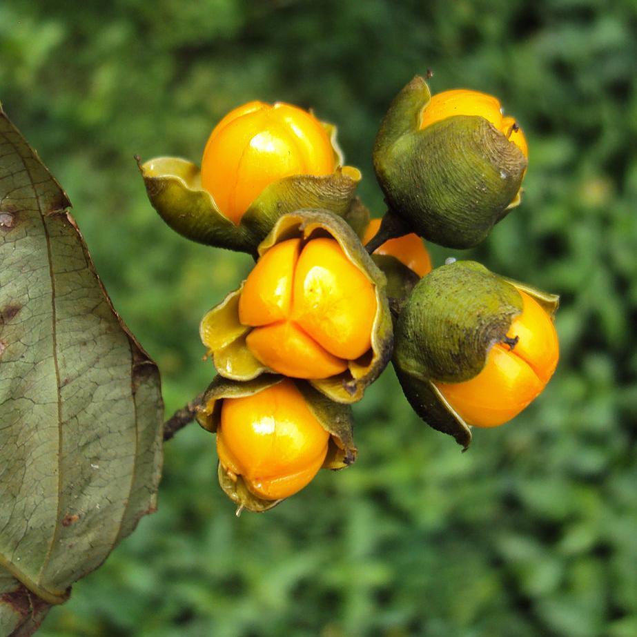 Celastrus paniculatus (Malkangini)