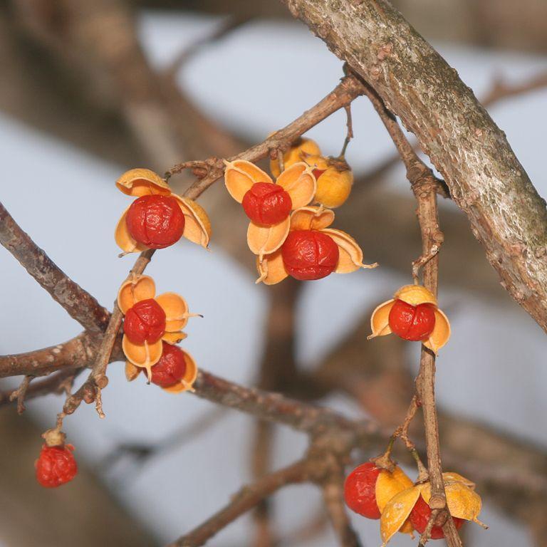 Celastrus orbiculatus ou articulatus