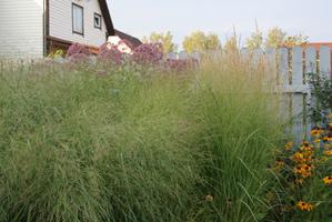 Semis et plantation de l'eupatoire