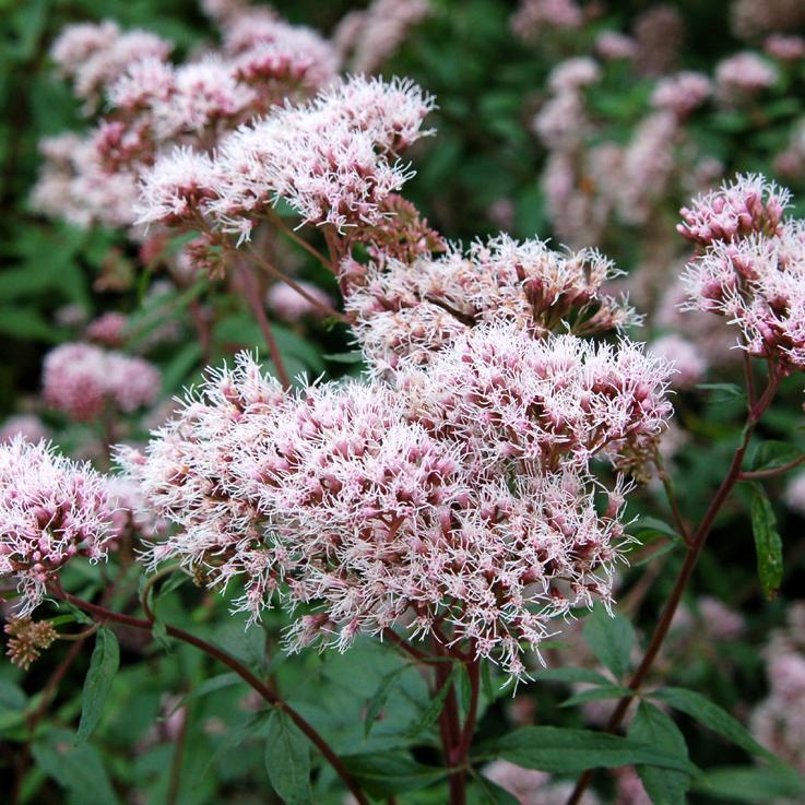 Eupatoire chanvrine double (Eupatorium cannabinum) 'Flore Pleno'