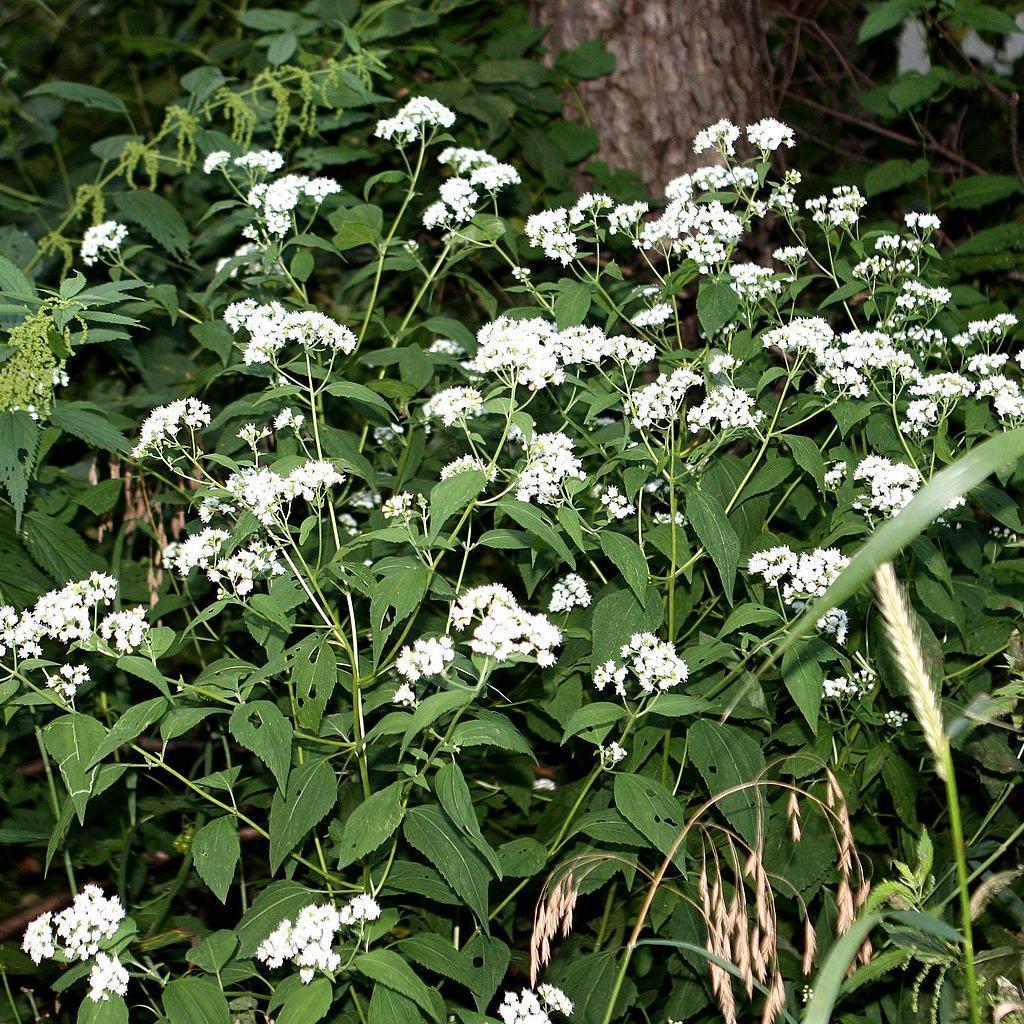 Eupatoire rugueuse (Ageratina altissima, syn. Eupatorium rugosum) 'Chocolat'