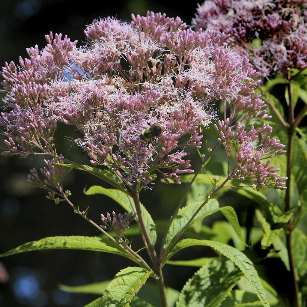 Eupatoire maculée (Eupatorium maculatum) Surtout connue par les variétés pourpres (Atropurpureum Grp)