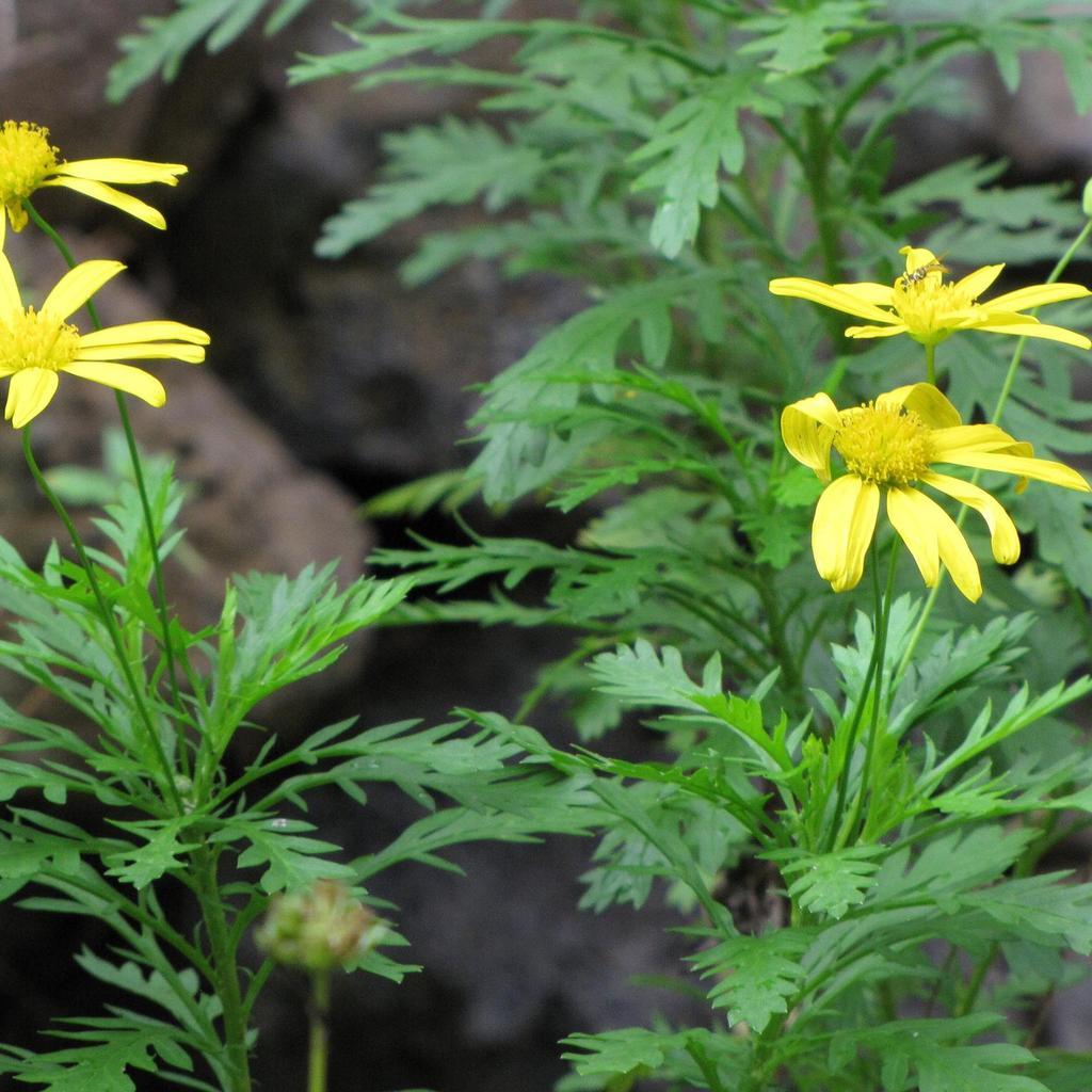 Euryops à fleur de chrysanthème (Euryops chrysanthemoides)