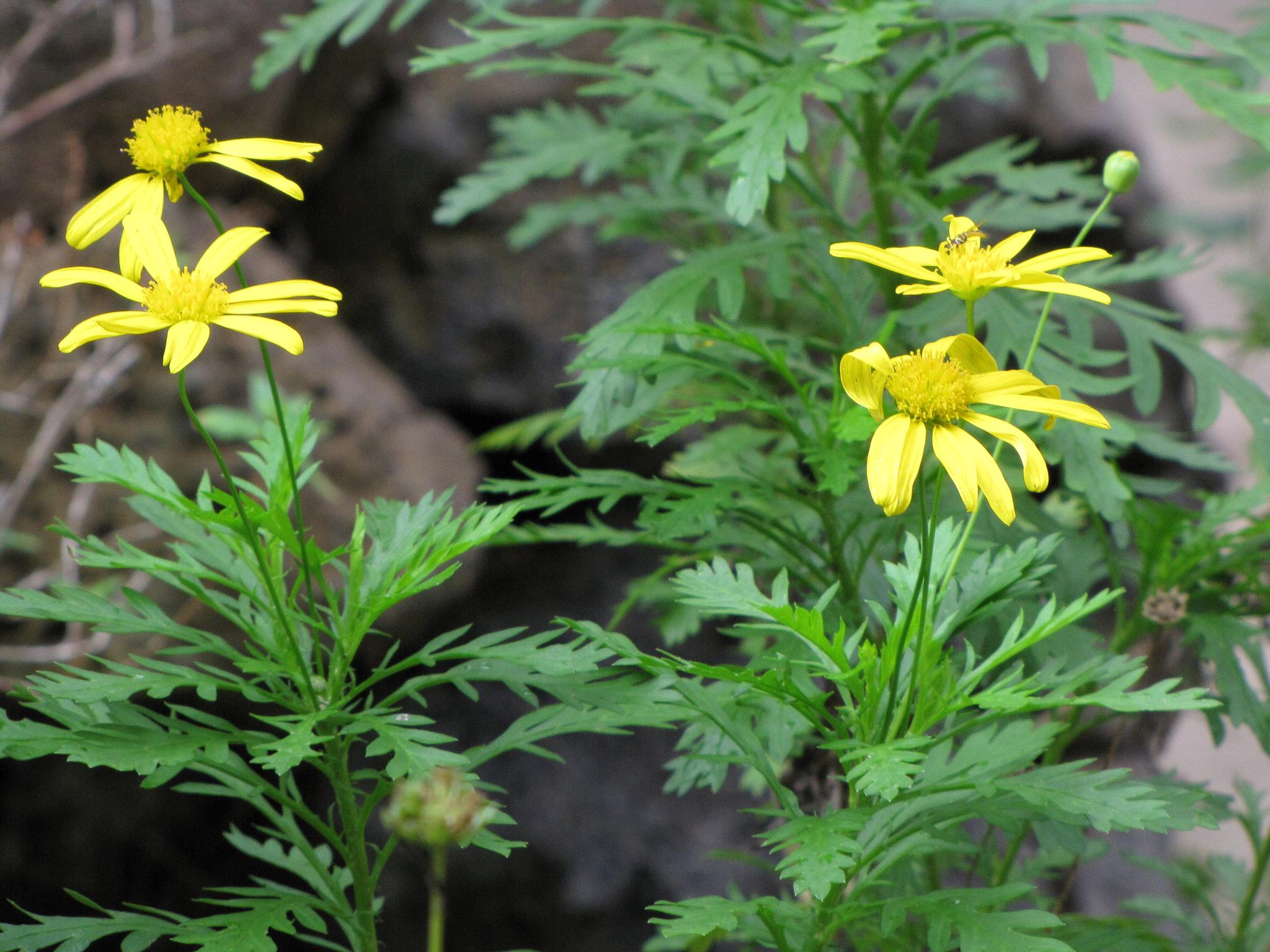 Euryops planter et cultiver ooreka for Tous les plantes