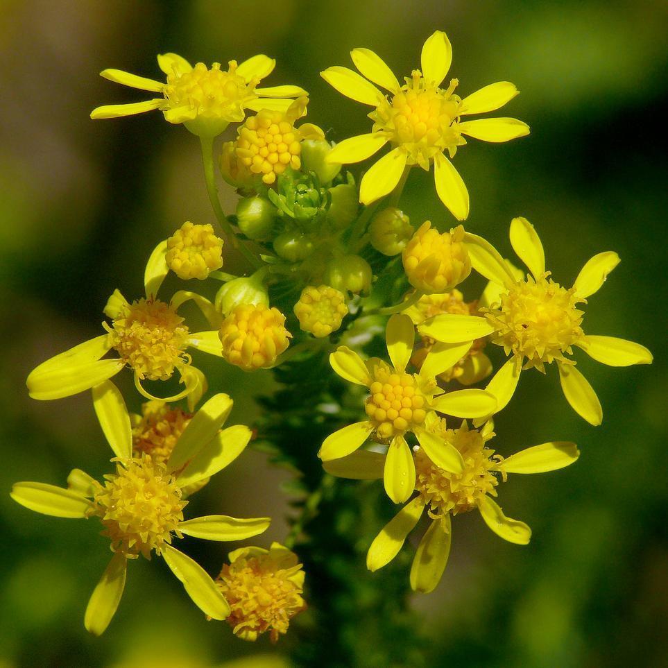 Euryops virginal ou résineux (Euryops virgineus)
