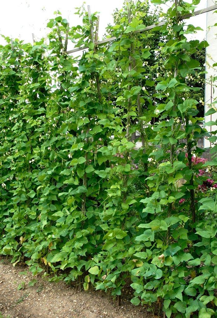 Haricot semer et planter ooreka - Semer des haricots verts ...