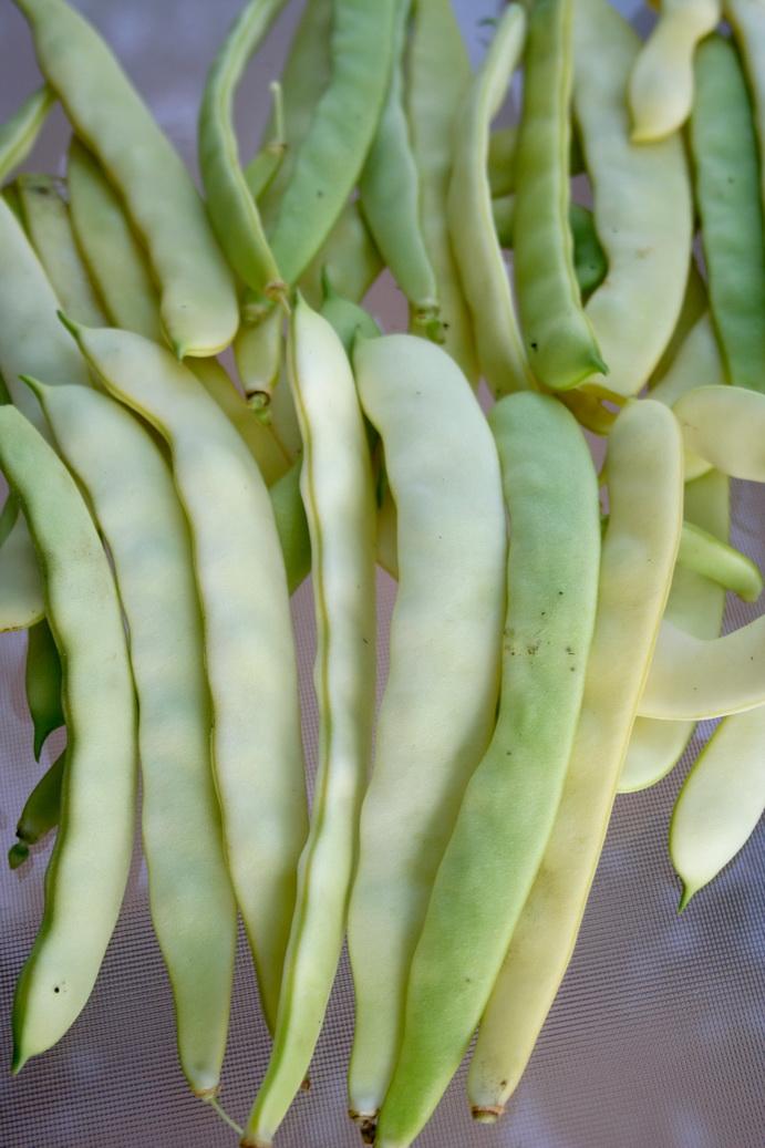 Haricot semer et planter ooreka - Haricot vert fruit ou legume ...